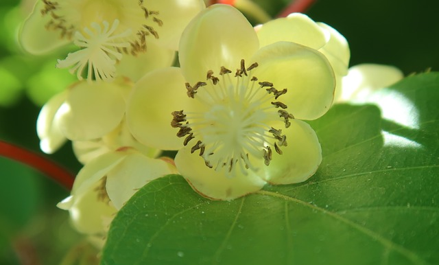 kiwi  květu