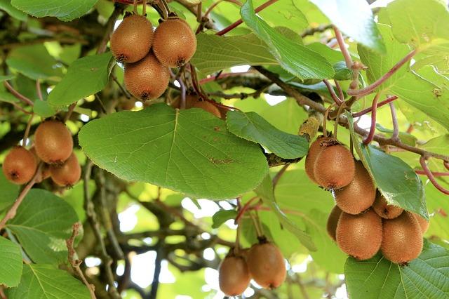 plody kiwi na stromě