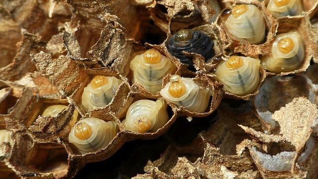 larvy sršní